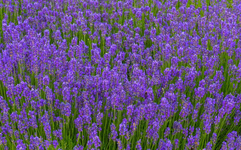 Meadow with violet flowers. View of many small purple flowers growing densely next to each other in a meadow royalty free stock image