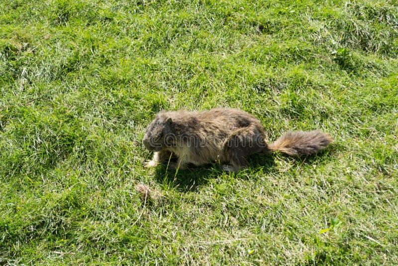 Marmot in the park stock photos