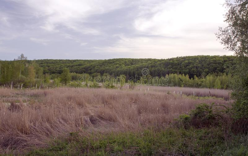 View of the marshland, grass, reeds and broken birch. royalty free stock images