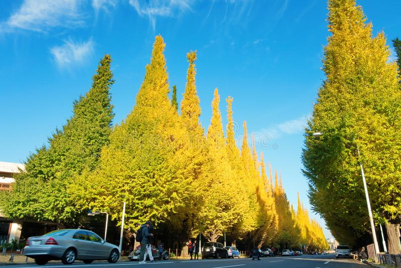 View from Meiji Jingu Gaien that has beautiful two rows of Ginkgo trees along Icho Namiki Street with yellow Ginkgo leaves in stock images