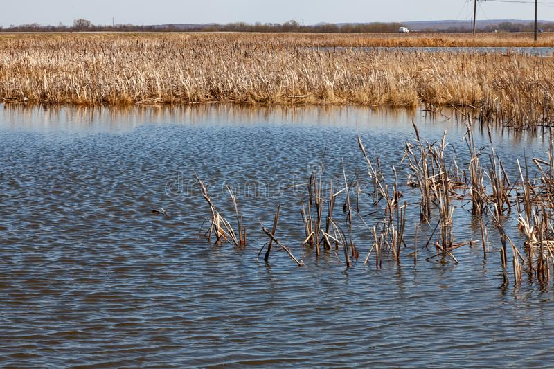 A view from the middle of the lake on the water in which spring dried yellow reeds are reflected under a clear blue sky without. Cloud on warm spring sunny day royalty free stock photo