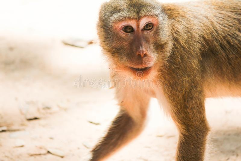 View of the monkey ball on the ground. Thailand royalty free stock photo
