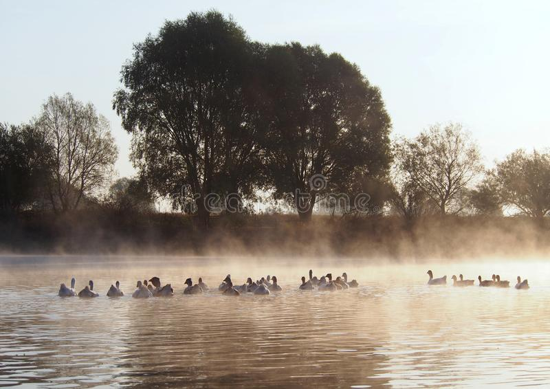 View of morning river in fog with floating geese. Silhouettes of floating geese in fog in the light of the rising sun stock photos