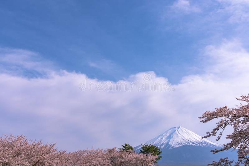 View of Mount Fuji and full bloom pink cherry trees flowers at Lake Kawaguchi with clear blue sky natural background stock photography