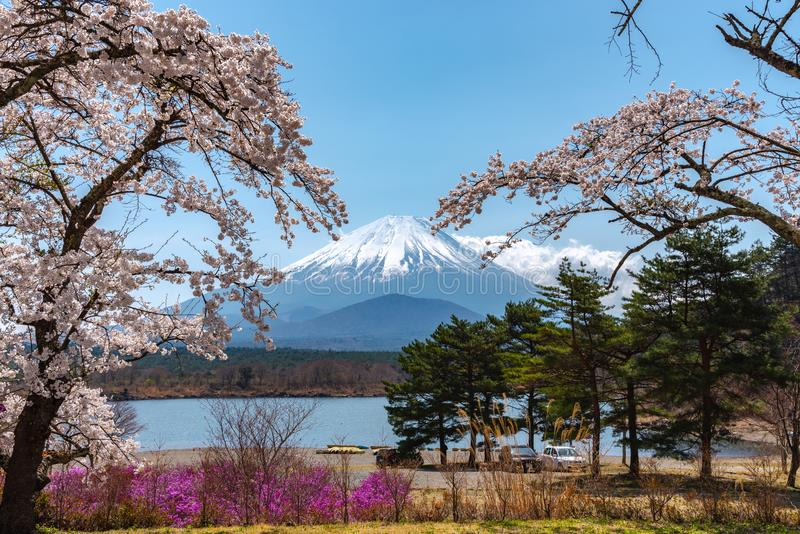 View of Mount Fuji and full bloom white pink cherry tree flowers at Lake Shoji royalty free stock photography