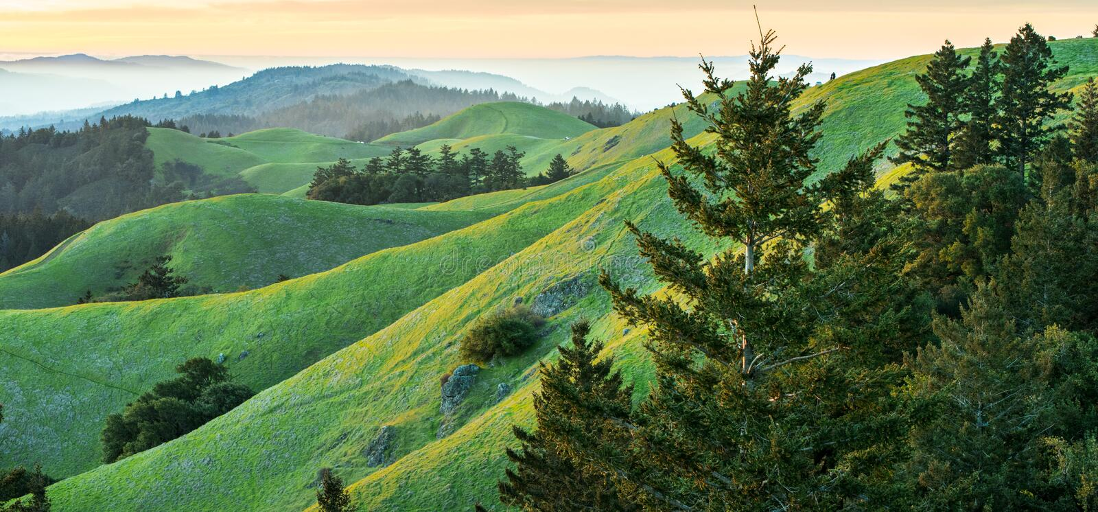 Panorama of rolling green and yellow hills with fog in background. Rolling saturated green hills with fog and sunset in background. Pine trees in foreground stock image