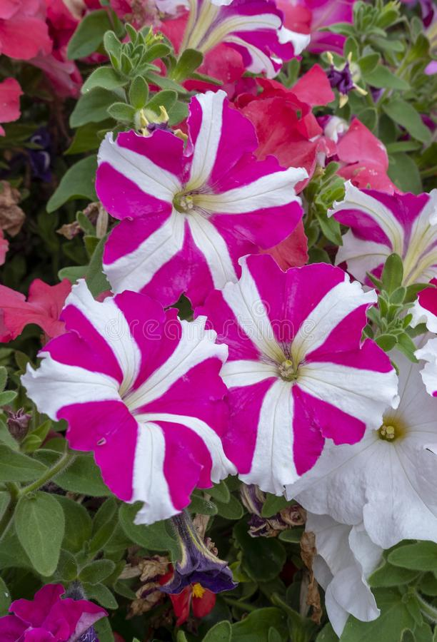 Glorious multi coloured Petunias. View of multi coloured Petunias tightly packed together in a flower display stock photography