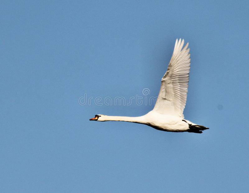A view of a Mute Swan flying stock photography