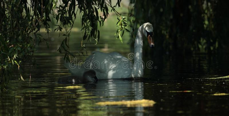 Mute swan. View of a mute swan and signet swimming side by side royalty free stock photo