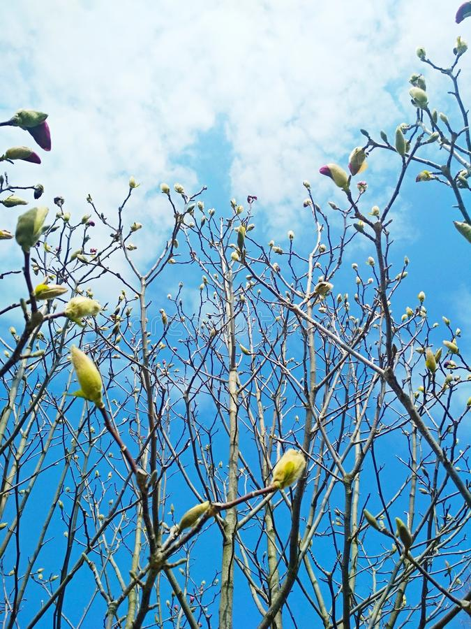 Spring has come, swollen buds of magnolia tree stock images