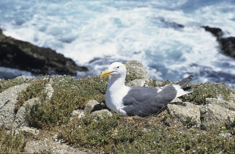 Nesting Seagull. View of a nesting seagull sitting inches away from a path stock photo