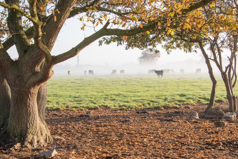 View through oak trees of field of cows on a misty morning in the autumn stock photo