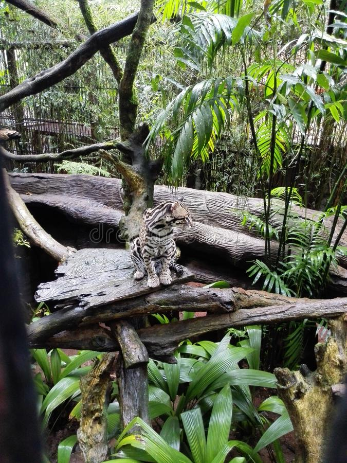 View of a ocelot on tree near the La Paz Waterfall Gardens Nature Park in Costa Rica. stock photo