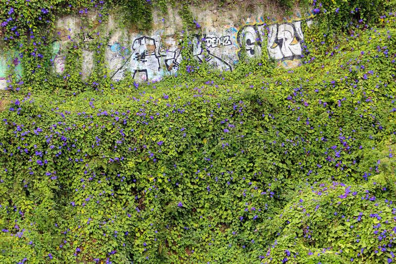 Graffiti wall covered with ivy royalty free stock photography