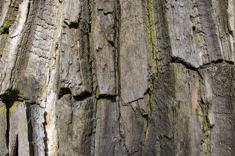 View of an old poplar bark texture, tree bark background royalty free stock photo