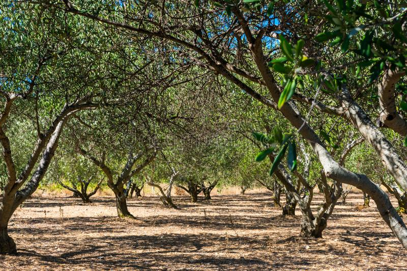 View of an olive orchard in summer royalty free stock image
