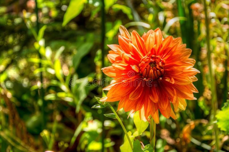 View of orange flower up close in a colorful garden. Pink and white are the primary colors in this image stock photography