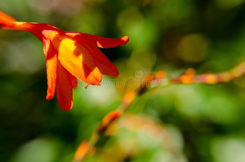 View of orange flower up close in a colorful garden. Red and white are the primary colors in this image royalty free stock photos
