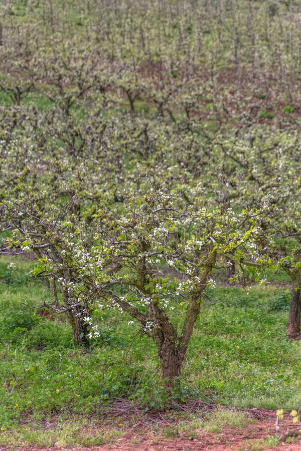 View of orchard with flowering apple trees, organic agriculture stock image