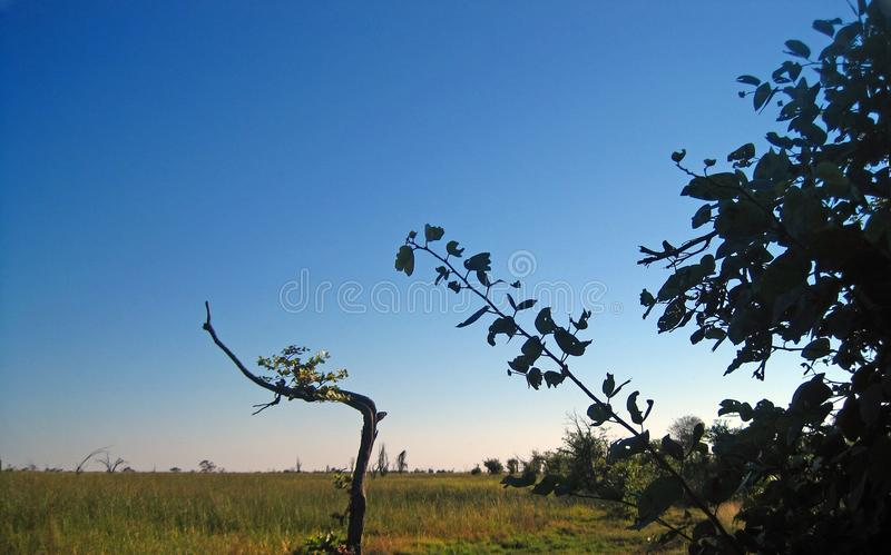SILHOUETTE OF LEAVES AND BRANCHES AGAINST THE SKY IN THE MABABE DEPRESSION, BOTSWANA. View of outer rim of the Mababe depression in the distance with green grass royalty free stock photos