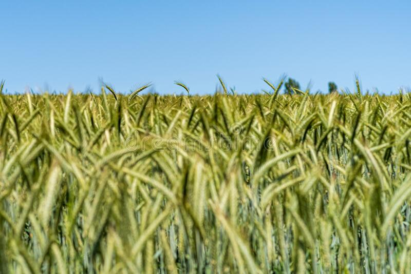 View over a barley field to the horizon and blue sky, a few sharp barley shoots between blurred barley stems, shallow depth of fie. Ld, Germany royalty free stock photo