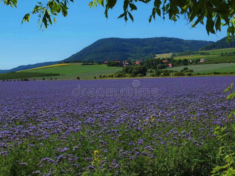 View over blue Purple Tansy field in countryside in hot summer day. Green blue purple flowers in blossom. Purple Tansy field in countryside in hot summer day royalty free stock photos