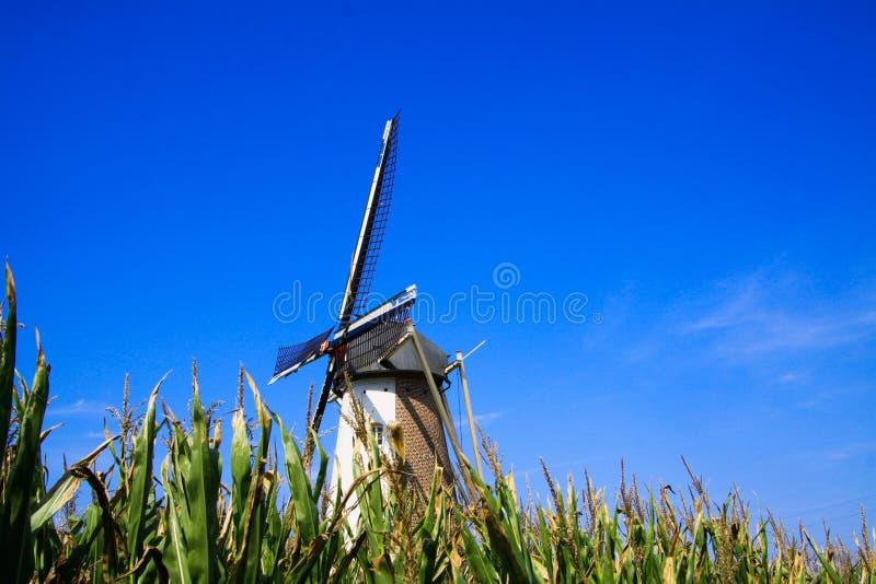 View over corn field on typical isolated dutch windmill against blue sky - Netherlands. Nederweert, Molen de Korenbloem stock photos