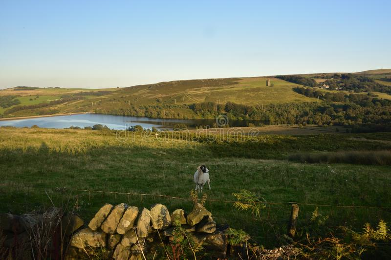 View over a drystone wall to the North side of Strines Reservoir. In the Derbyshire Peak District, with a Ram in the field stock images