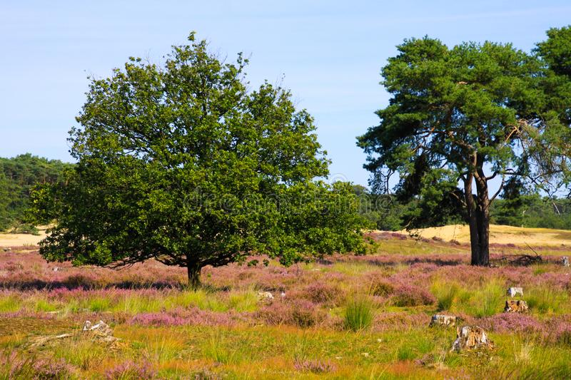 View over green and purple heath field on isolated oak and scotch scots, pinus sylvestris pine conifer tree - Loonse und. Drunense Duinen, Netherlands stock photos