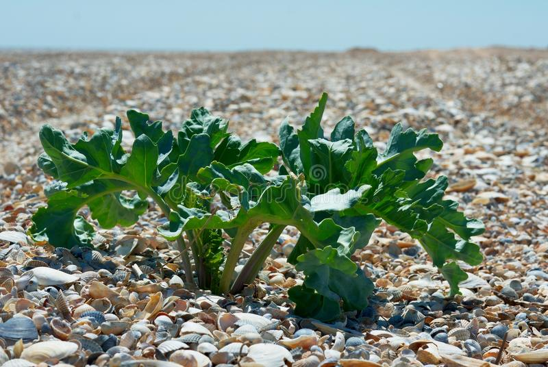 View over sea shells beach with Crambe maritima (sea-kale or crambe). View distant sea shells beach with plant Crambe maritima (sea-kale, seakale or crambe) in stock photo