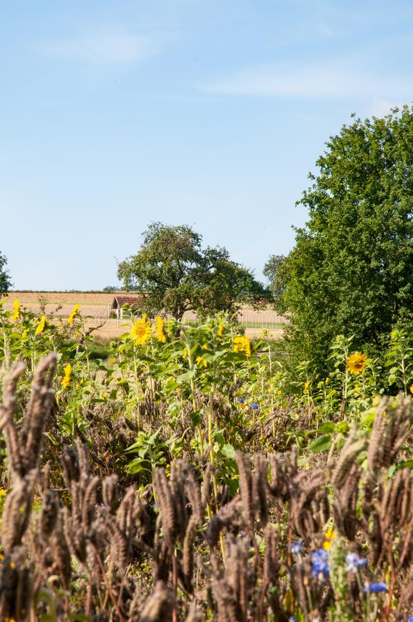 View over summer landscape in swabian alb. Rural landscape in swabian alb with sunflowers, orchard and harvested field royalty free stock photos
