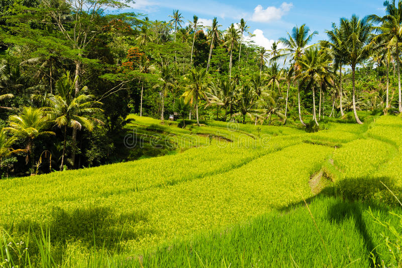 View over terrace rice fields and coconut trees royalty free stock image
