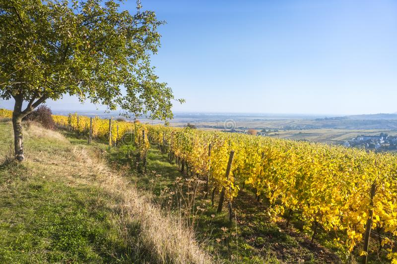a view over a vineyard at Alsace France in autumn light stock photo