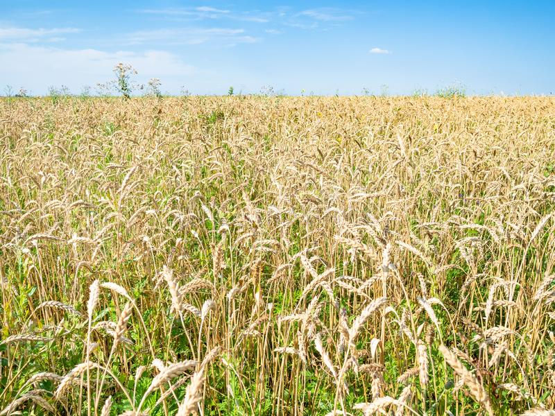 View of overgrown wheat field in summer afternoon. Rural landscape - view of overgrown wheat field in summer afternoon in Kuban region of Krasnodar Krai of stock photos