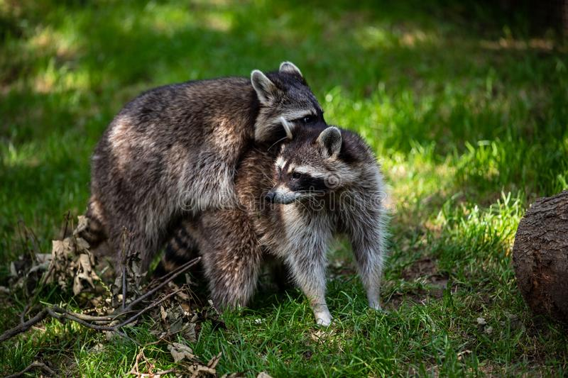 View of a pair common raccoons on the meadow royalty free stock image