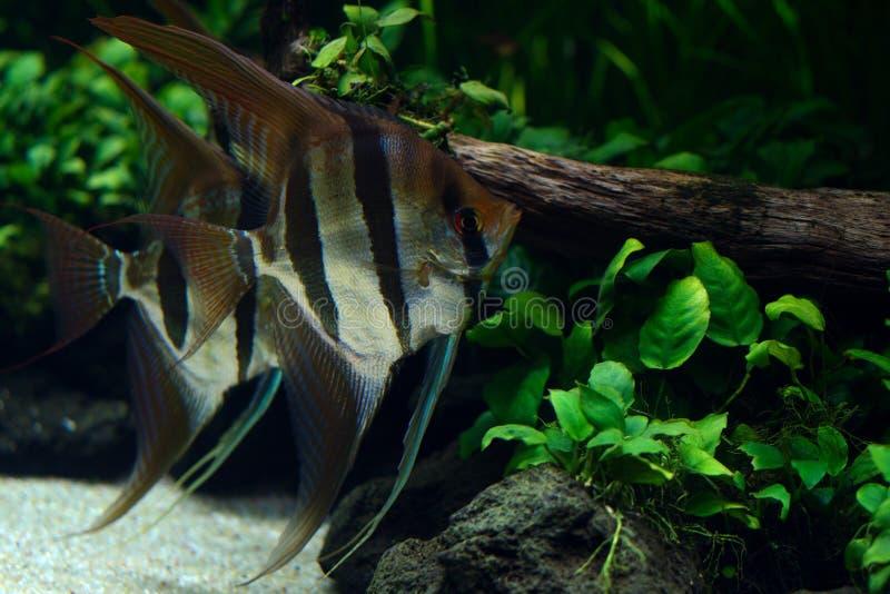 View of pair of freshwater angelfish in aquarium stock photography