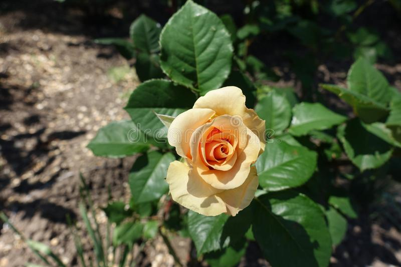 View of pale orange flower of rose stock photo