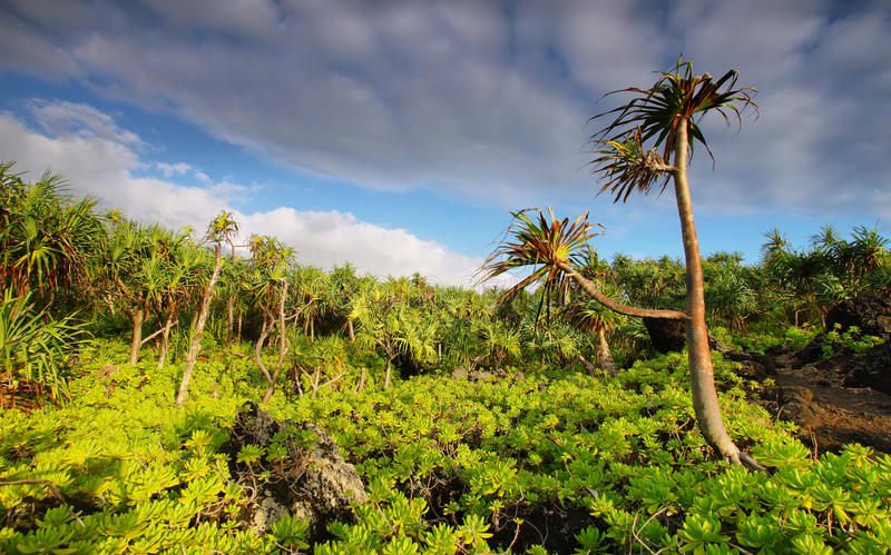 View of palm trees lush vegetation in Waianapanapa State park royalty free stock images