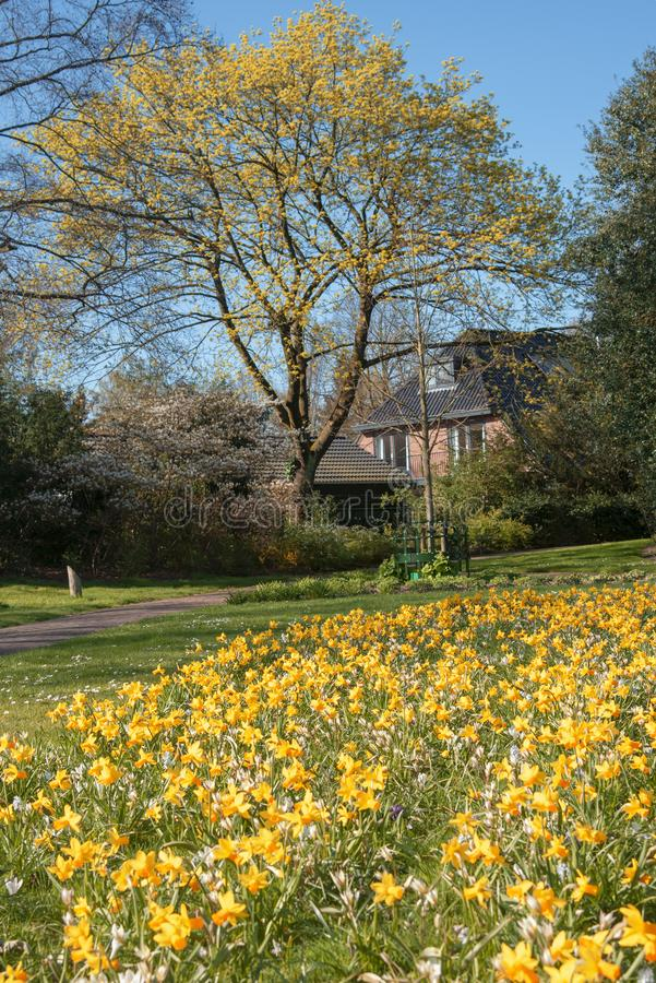 View of a park with a yellow flowering tree, and on the grass lush yellow daffodils in early spring, in the background a clear bl stock images