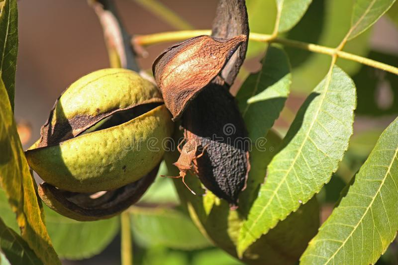 BROWN STINK BUG ON PECAN NUT HUSKS ON A TREE. View of pecan nut tree with green foliage and bearing nuts at the end of summer in a garden royalty free stock photography