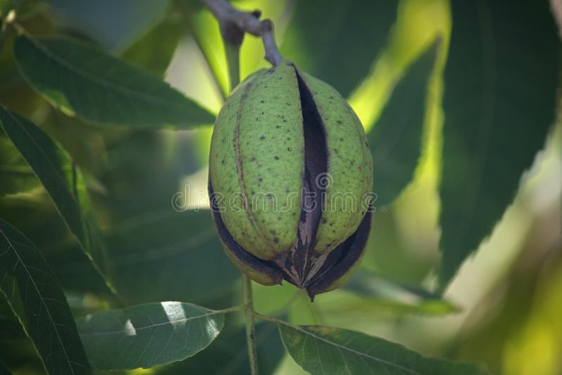 CLOSE VIEW OF A RIPE PECAN NUT IN A GREEN HUSK ON A TREE. View of pecan nut tree with green foliage and bearing nuts at the end of summer in a garden stock photos