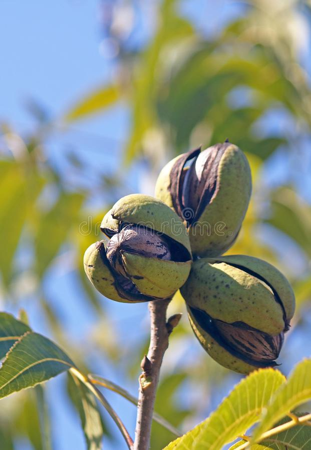 A CLUSTER OF THREE RIPE PECAN NUTS IN HUSKS ON A TREE AGAINST A BLUE SKY. View of pecan nut tree with green foliage and bearing nuts at the end of summer in a stock image