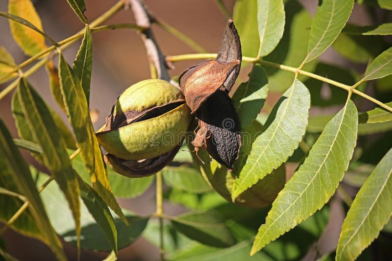 DRIED AND GREEN PECAN NUT HUSKS ON A PECAN NUT TREE. View of pecan nut tree with green foliage and bearing nuts at the end of summer in a garden stock photo