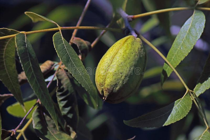 PECAN NUT ON A TREE ENCLOSED IN A GREEN HUSK. View of pecan nut tree with green foliage and bearing nuts at the end of summer in a garden stock photography