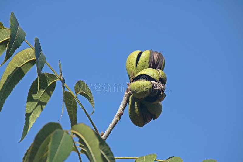 RIPE PECAN NUTS SITTING ON A TWIG IN THE OPEN HUSKS. View of pecan nut tree with green foliage and bearing nuts at the end of summer in a garden royalty free stock photos