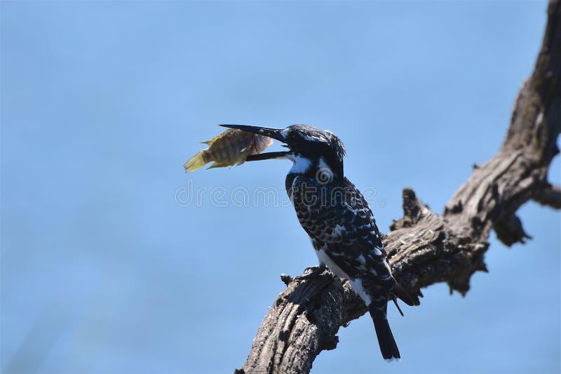 Pied Kingfisher stock image