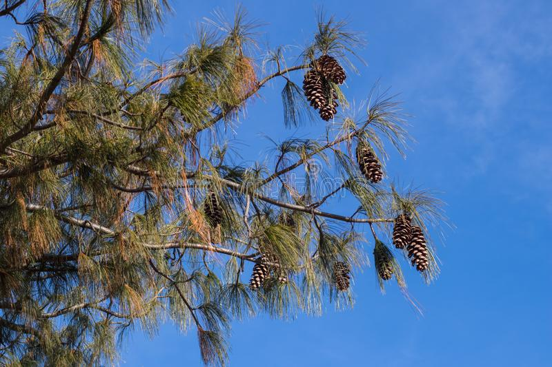 View of pine branches and cones against the blue sky. stock photos