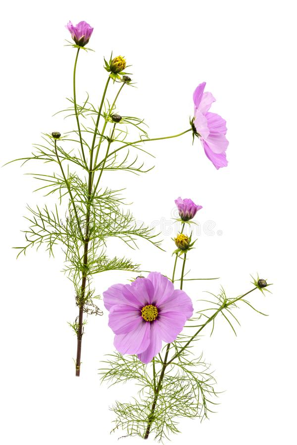 Pink Cosmos. View of a pink Cosmos flower on a white background royalty free stock photos