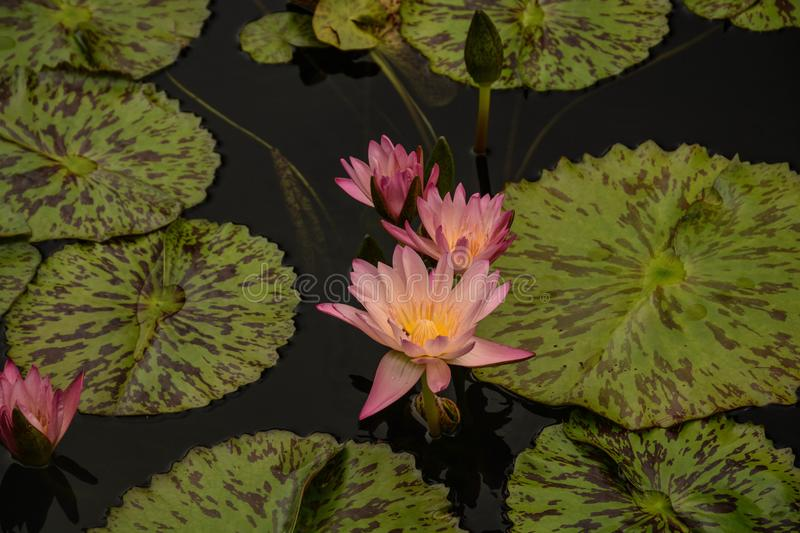 Beautiful Pink Waterlilies on the Pond. A view of pink waterlilies and lily pads afloat on a pond in a local botanic garden royalty free stock image