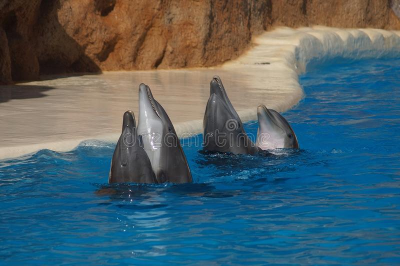 Dancing Dolphins royalty free stock photos